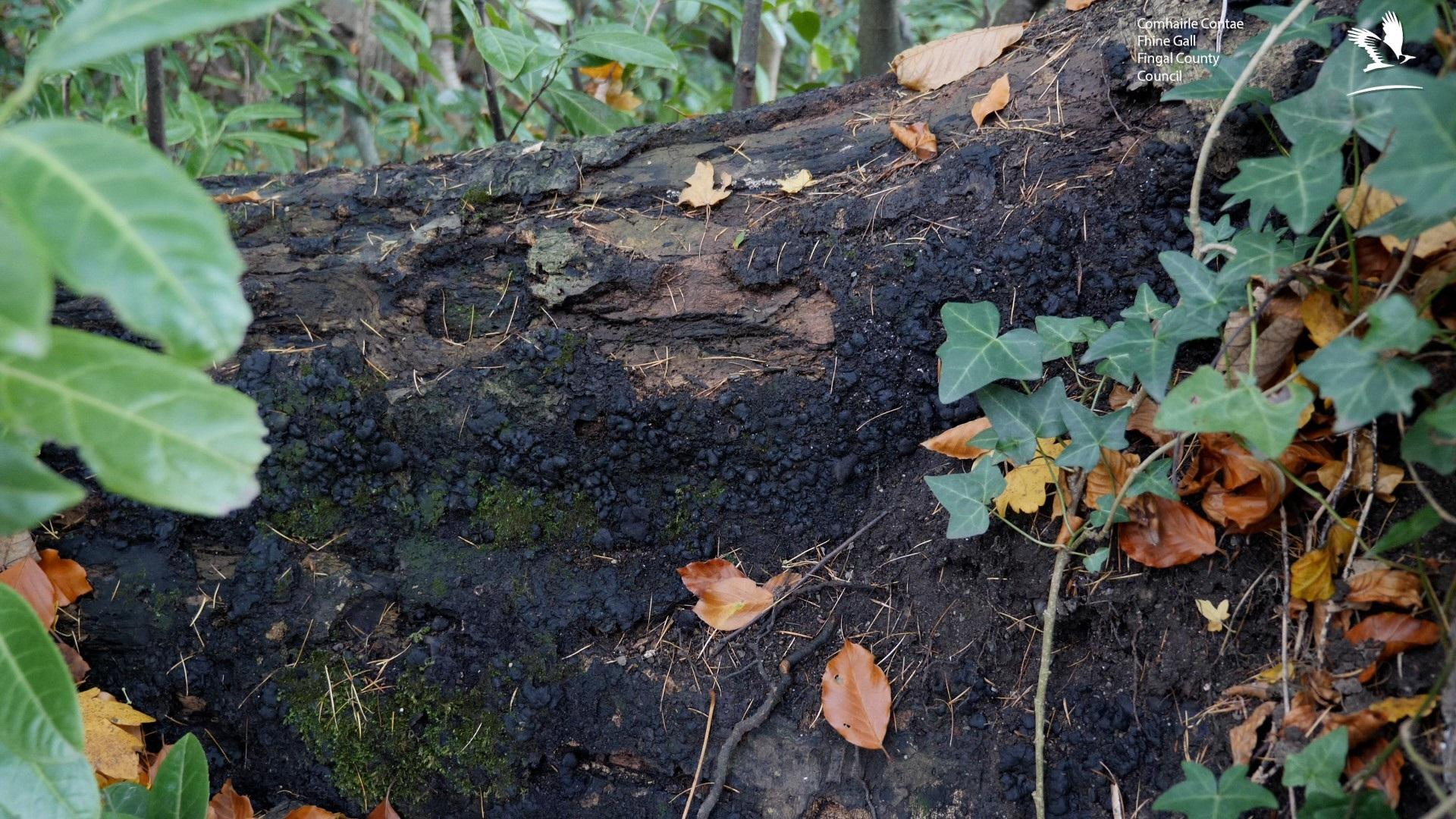 A picture of the Ustulina fungus on a tree in Newbridge Demesne. Ustulina is a black sooty fungus that affects the root plate of a tree.